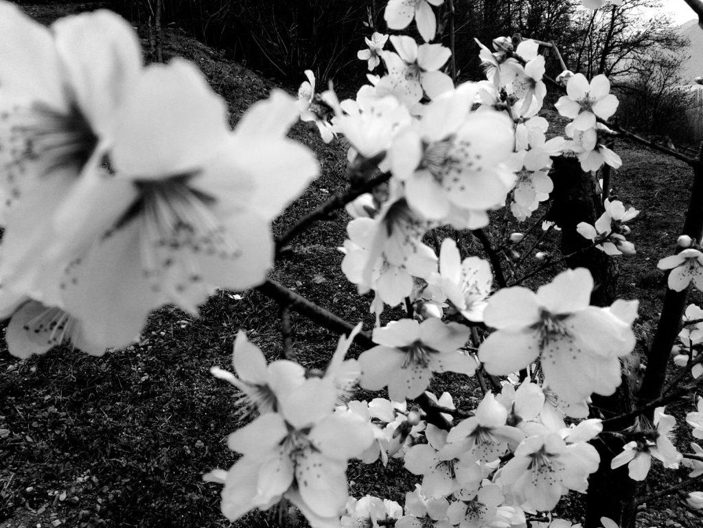 Cherry blossom, Orta Lake, Italy, 2016